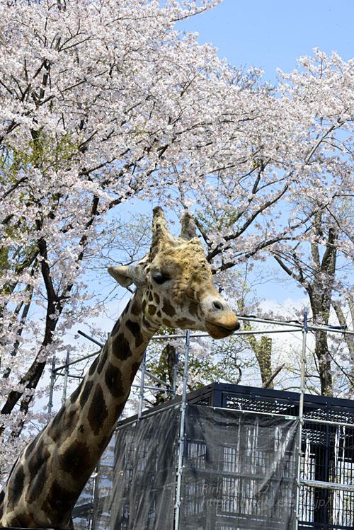 2017.4.16 宇都宮動物園☆キリンと桜【Giraffes in the cherry tree】_f0250322_21304998.jpg