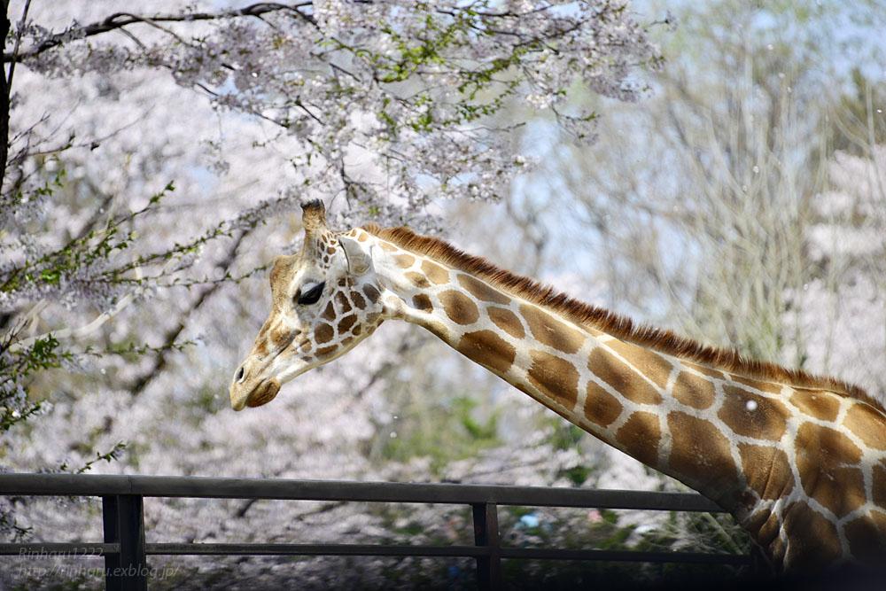 2017.4.16 宇都宮動物園☆キリンと桜【Giraffes in the cherry tree】_f0250322_21305495.jpg