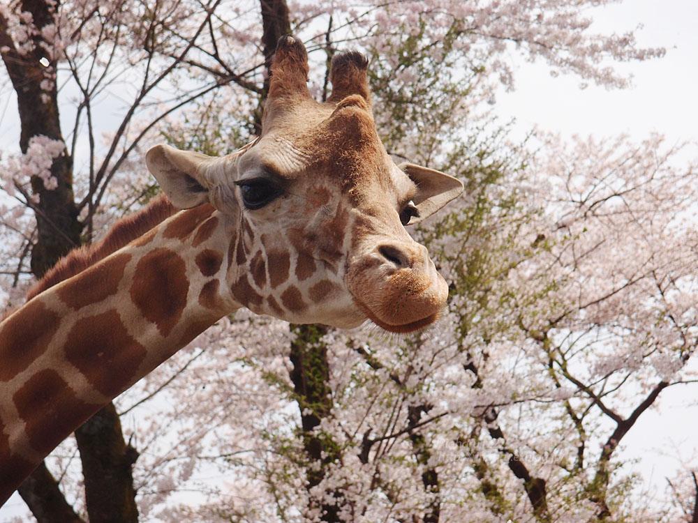 2017.4.16 宇都宮動物園☆キリンと桜【Giraffes in the cherry tree】_f0250322_2130824.jpg