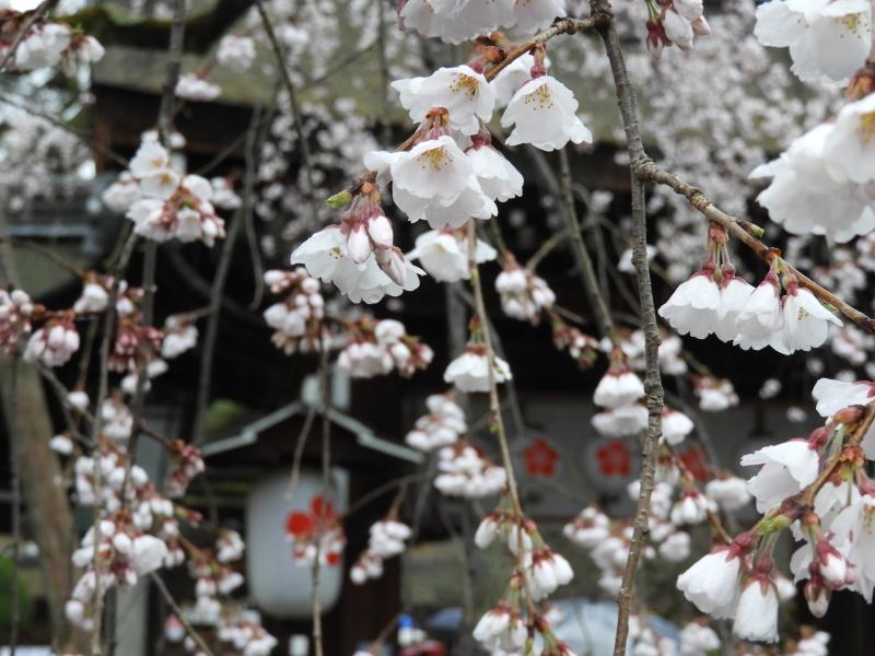 平野神社 魁(さきがけ)ざくら_e0048413_17285489.jpg