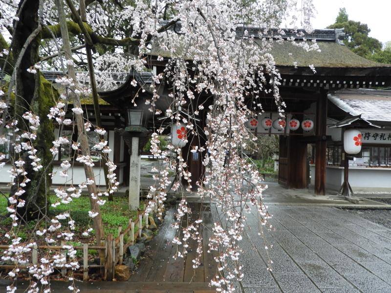 平野神社 魁(さきがけ)ざくら_e0048413_17291746.jpg
