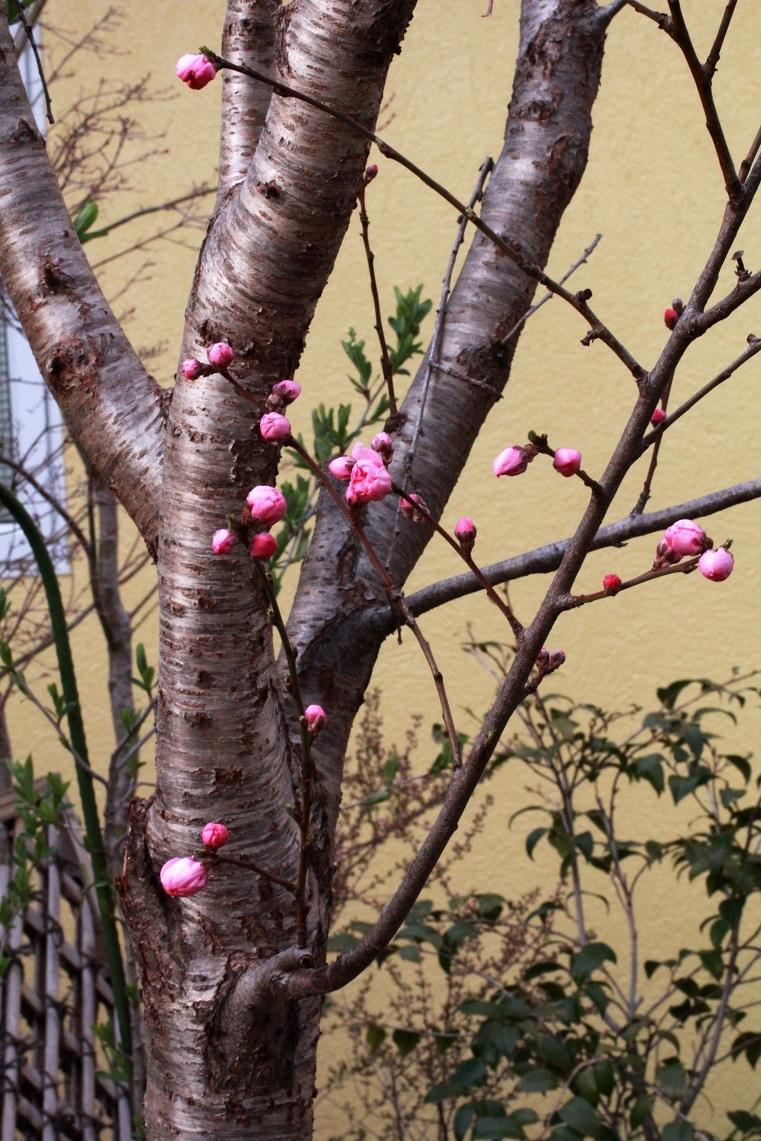 最後の寒さ ~桃、薔薇、明日散るベ~_a0107574_10274085.jpg
