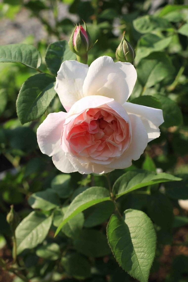 最後の寒さ ~桃、薔薇、明日散るベ~_a0107574_10275672.jpg