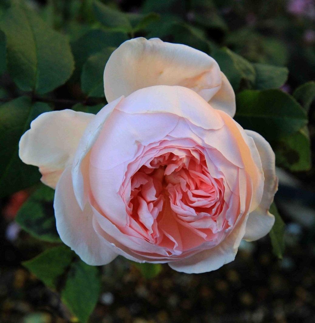 最後の寒さ ~桃、薔薇、明日散るベ~_a0107574_10280367.jpg