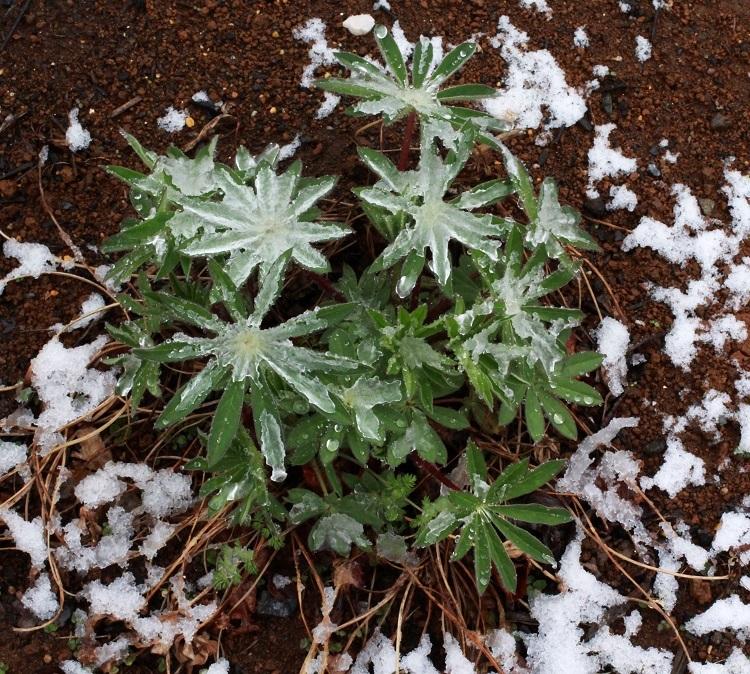 !(速^^報)! ~春分のみぞれと雪で出来た薄氷~_a0107574_16590244.jpg