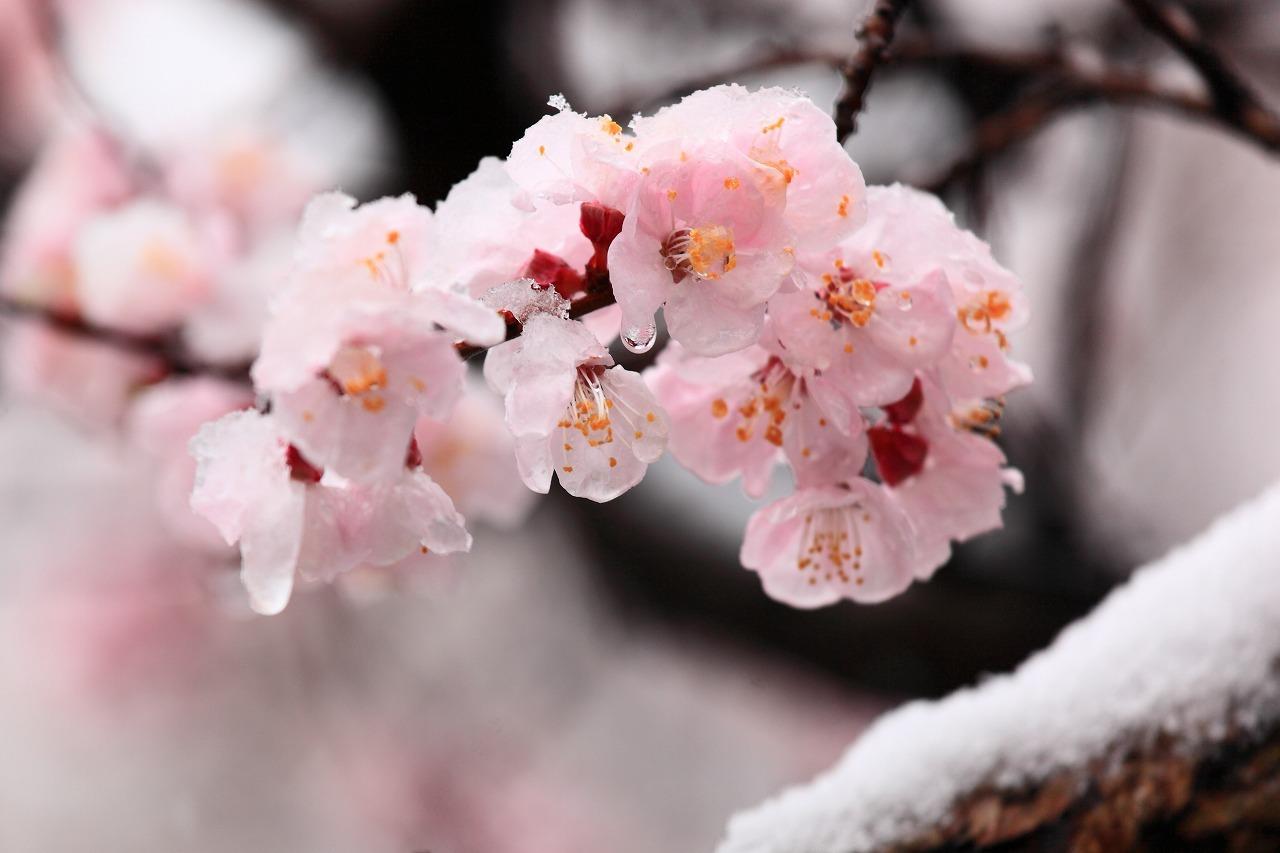 雪桜_b0177584_15072484.jpg