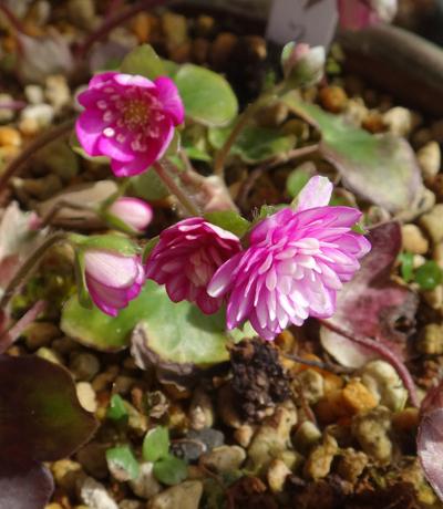 咲き始めた雪割草と、昨年の夏越しの様子など(^^)v_a0136293_17215845.jpg