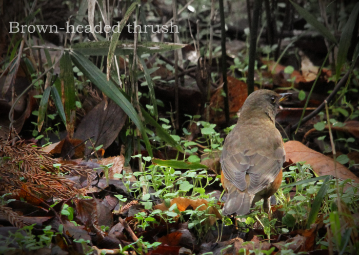 アカハラ: Brown-headed thrush_b0249597_07495488.jpg