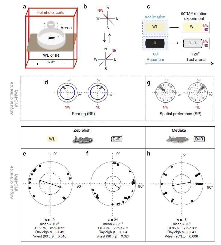 ゼブラフィッシュとメダカの磁場感知能力について_c0025115_22001419.jpg