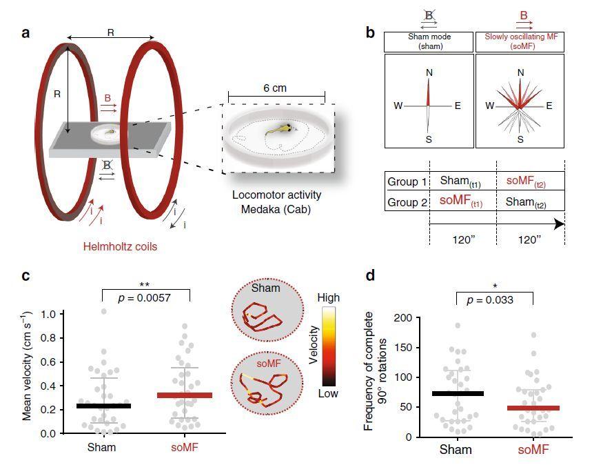 ゼブラフィッシュとメダカの磁場感知能力について_c0025115_22001753.jpg