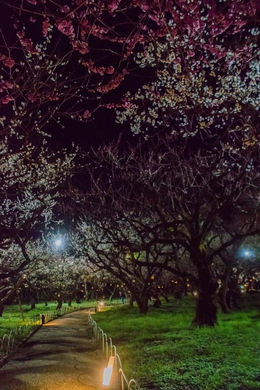 北野天満宮~梅苑ライトアップ_e0363038_2050369.jpg
