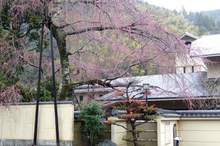 雨の中、桜が咲きました_b0145257_10550621.jpg