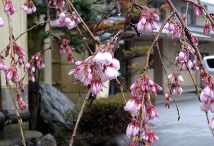 雨の中、桜が咲きました_b0145257_10550987.jpg