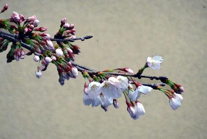 雨の中、桜が咲きました_b0145257_10551445.jpg