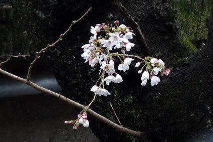 雨の中、桜が咲きました_b0145257_10551790.jpg