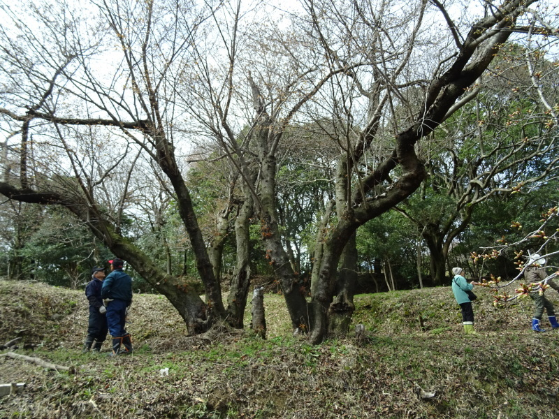 ヤマザクラ全数調査・・・うみべの森_c0108460_17260207.jpg