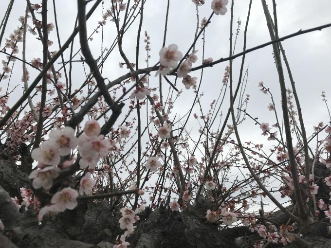 吉牛を持って梅の花をめでました_b0100062_11043337.jpg