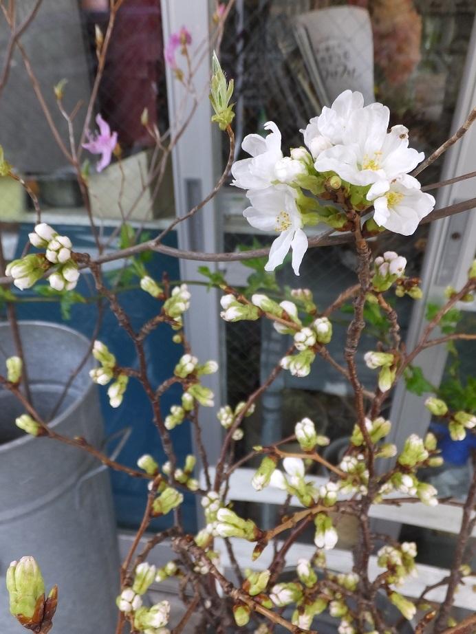 オークリーフ(桜と市川さんの薔薇)_f0049672_12135359.jpg