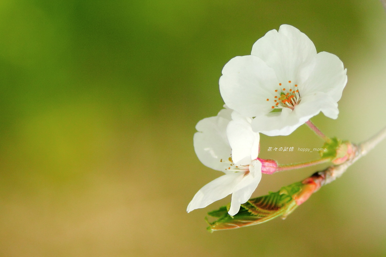 桜求めて ぶらぶら散歩・・_c0357781_20203996.jpg