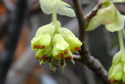 春は花が次々と咲きます_b0145296_12455455.jpg
