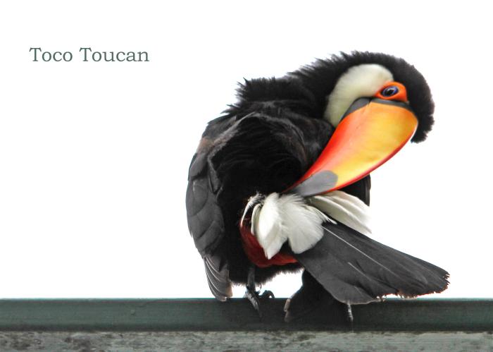 オニオオハシ:Toco Toucan_b0249597_18565209.jpg