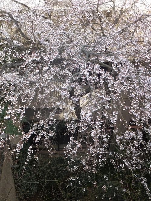 桜の季節になりました_f0040201_1337238.jpg