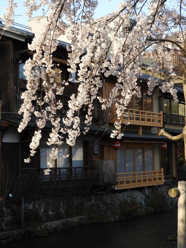 祇園新橋あたり しだれ満開_e0048413_21041281.jpg