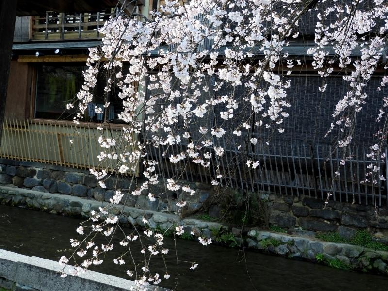 祇園新橋あたり しだれ満開_e0048413_21042676.jpg