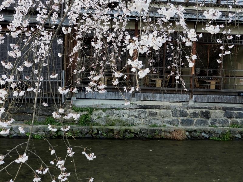 祇園新橋あたり しだれ満開_e0048413_21043628.jpg