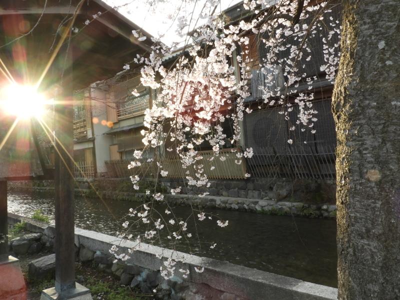 祇園新橋あたり しだれ満開_e0048413_21044577.jpg