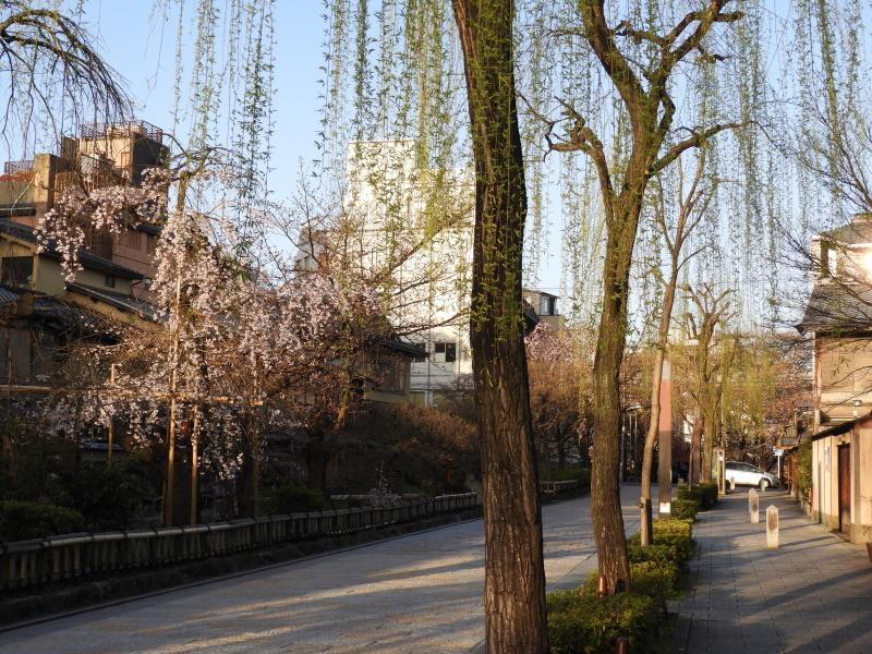 祇園新橋あたり しだれ満開_e0048413_21045578.jpg