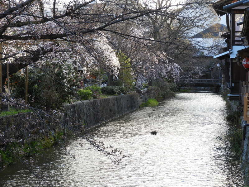祇園新橋あたり しだれ満開_e0048413_21051138.jpg