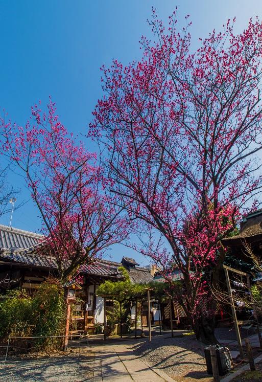 下御霊神社の梅_e0363038_20304769.jpg