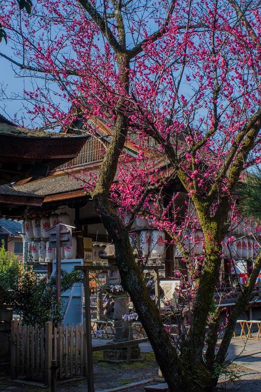 下御霊神社の梅_e0363038_20311051.jpg
