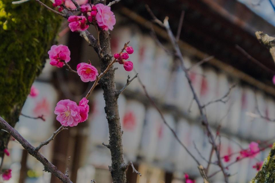 下御霊神社の梅_e0363038_2031664.jpg