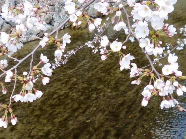桜と木蓮_e0230141_12504514.jpg