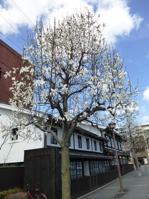 桜と木蓮_e0230141_12512076.jpg