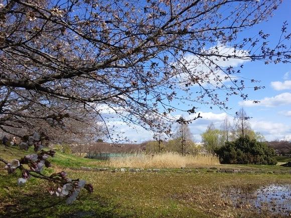 寒さに耐えて桜開花_d0116059_20433151.jpg
