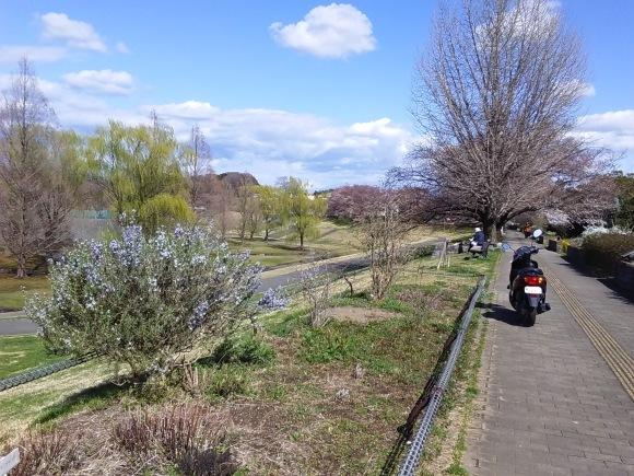 寒さに耐えて桜開花_d0116059_20482004.jpg