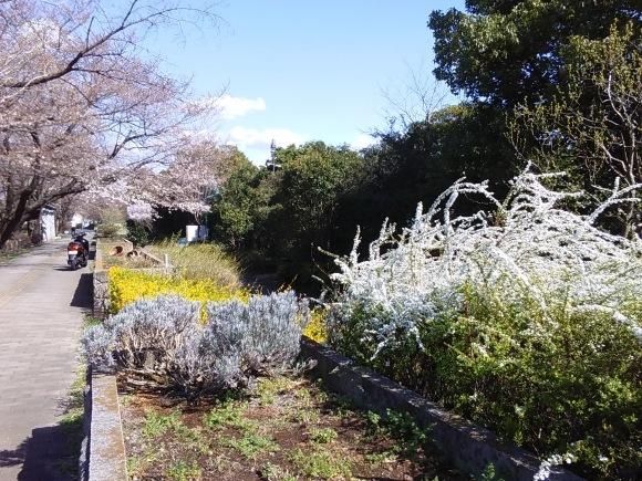 寒さに耐えて桜開花_d0116059_20485002.jpg