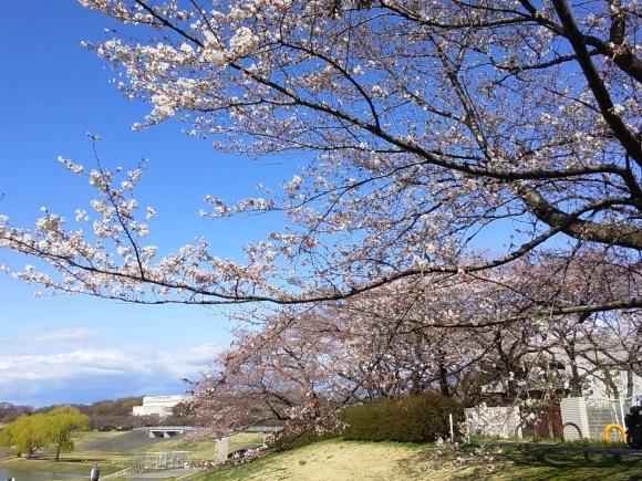 寒さに耐えて桜開花_d0116059_20533719.jpg