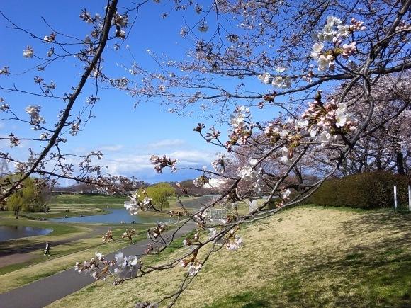 寒さに耐えて桜開花_d0116059_20542186.jpg