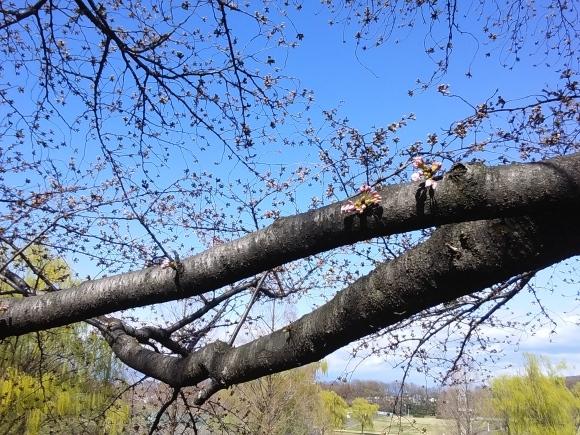 寒さに耐えて桜開花_d0116059_21015402.jpg