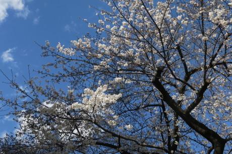 今日も桜便りです_e0292172_18352848.jpg