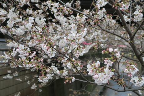 今日も桜便りです_e0292172_18361831.jpg