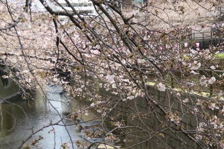 今日も桜便りです_e0292172_18372070.jpg