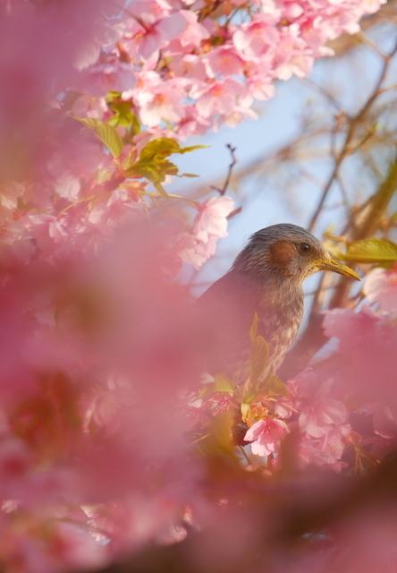 河津桜と飛行機_b0358575_19353615.jpg