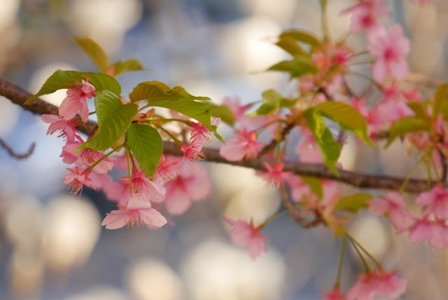 河津桜と飛行機_b0358575_19472527.jpg