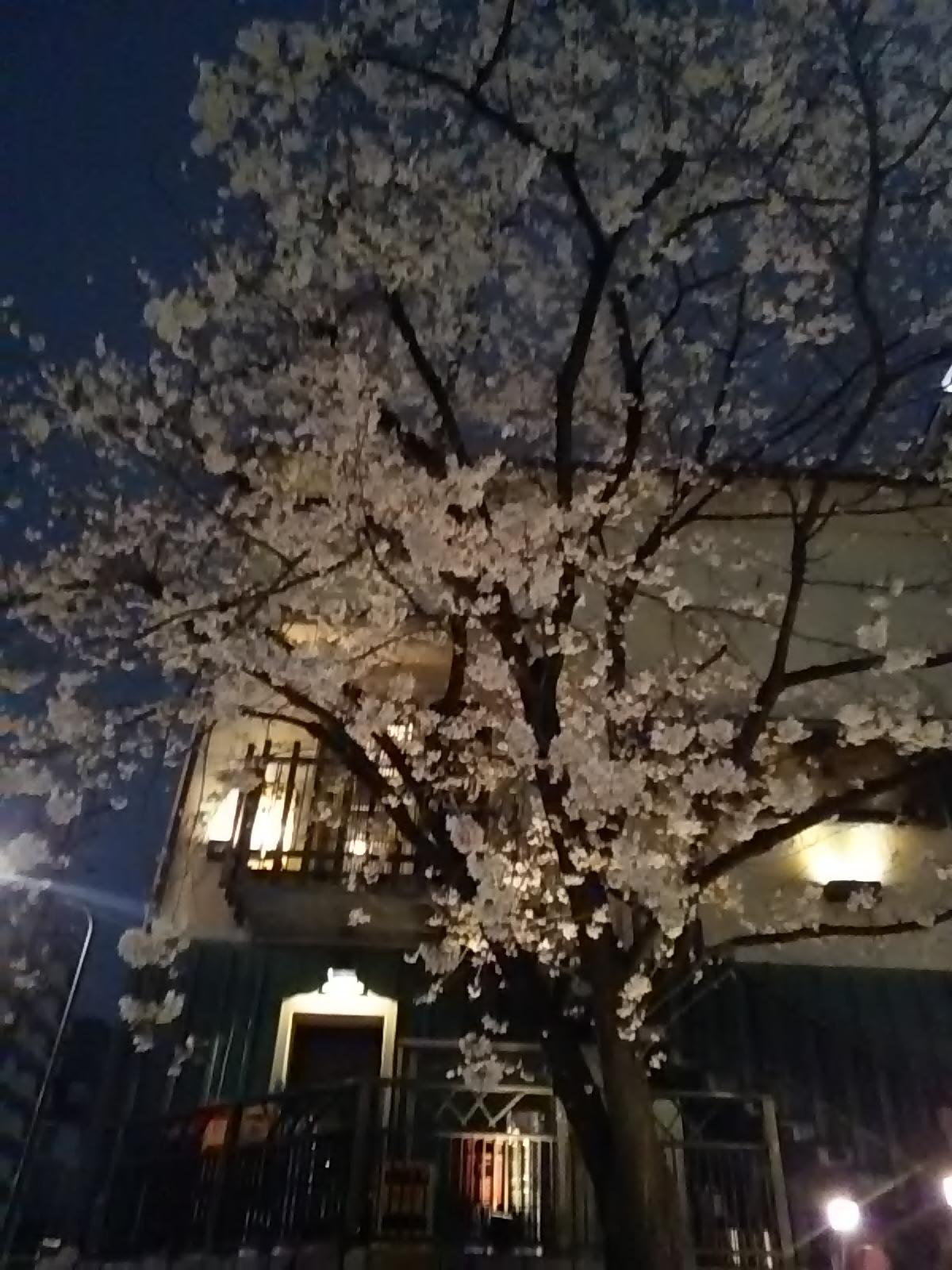 咲き誇れ、夜桜・・・_e0188079_14352643.jpg