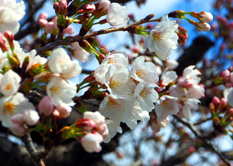 石川の桜_e0254493_11413443.jpg